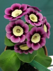 Pink auricula with pale yellow centre