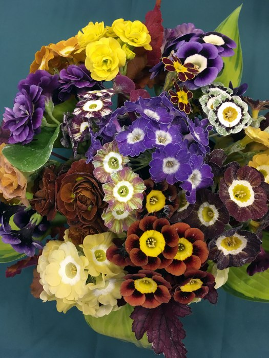 Mixed varieties of primula auricula including stripes, doubles and fancies