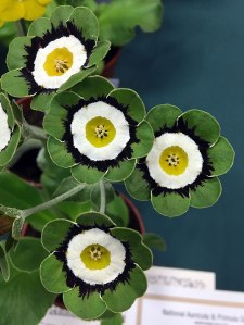 Green edged, beautifully rounded auricula