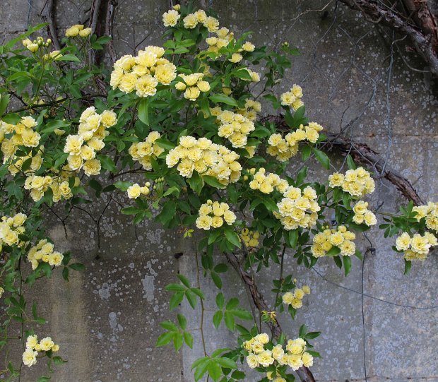 Arching stems of Rosa banksiae 'Lutea' - the yellow Lady Banks' Rose