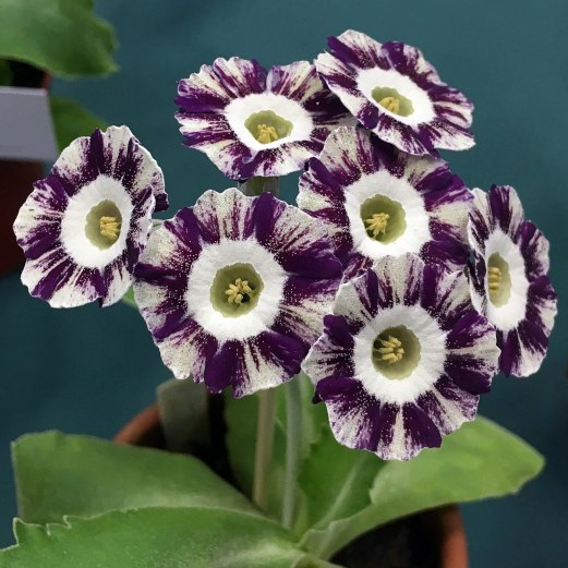 Auricula with farina and purple stripes