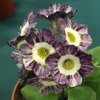 Striped purple and white auricula with farina