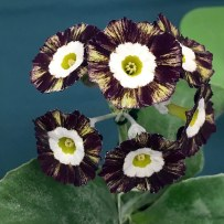 Rich maroon and gold striped auricula