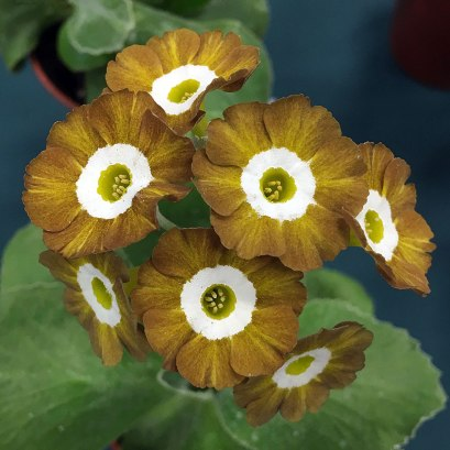 Streaked brown and gold auricula