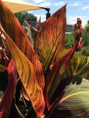 Striped canna leaves in sunlight