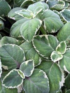 Variegated Cuban oregano leaves