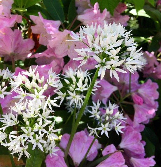 Wild garlic flowers with pink rhododendron