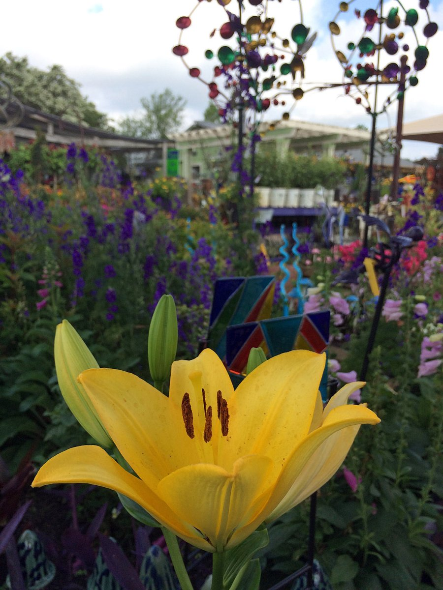 Yellow lily with garden art in the background