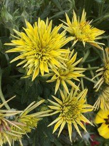Yellow flowers opening