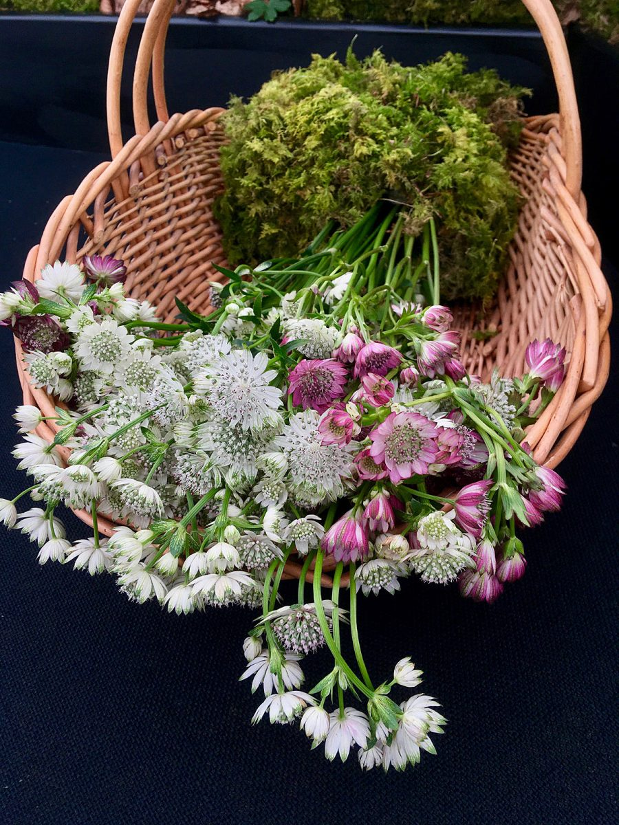 A basket of white and pink astrantias