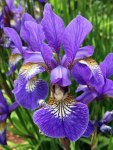 Blue iris with bee