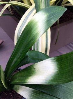 Clivia leaf with broad horizontal stripes