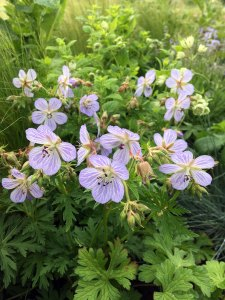 Geranium pratense with other greenery in a long border