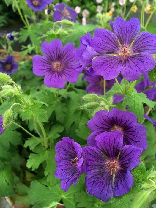 Geranium x magnificum 'Blue Blood'