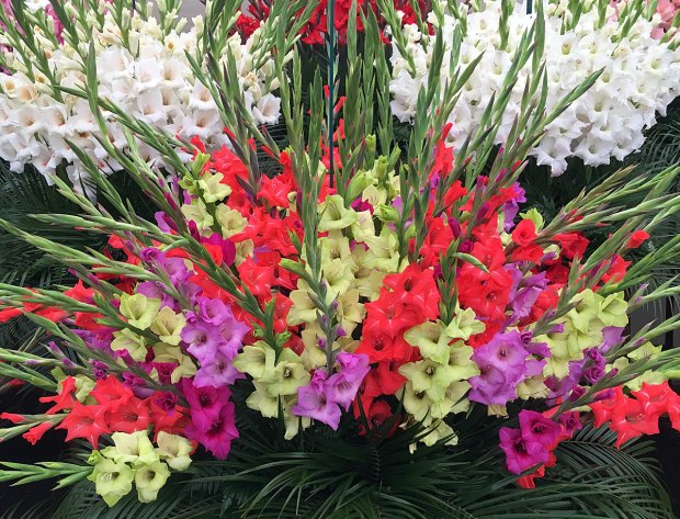 Fan shaped display of gladioli flowers