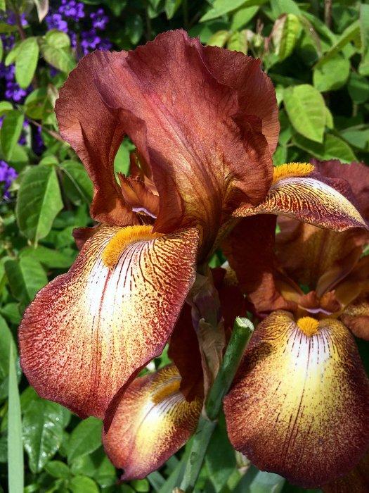 Brown bearded Iris Kent Pride