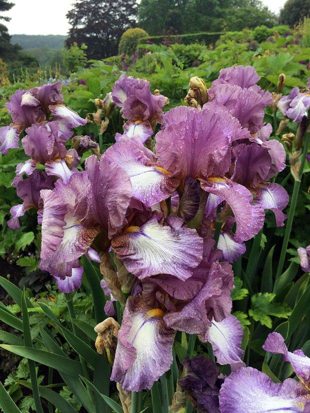 Clump of purple irises