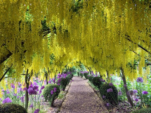 Metal arch supporting racemes of yellow laburnum flowers