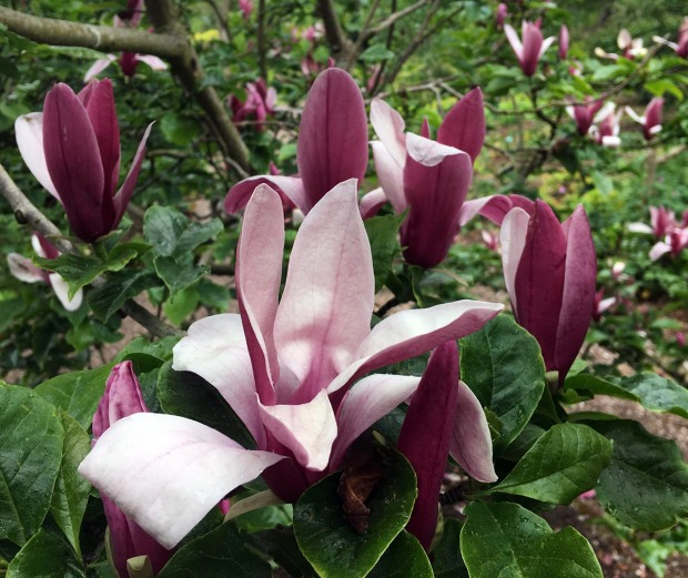 Red magnolia flowers