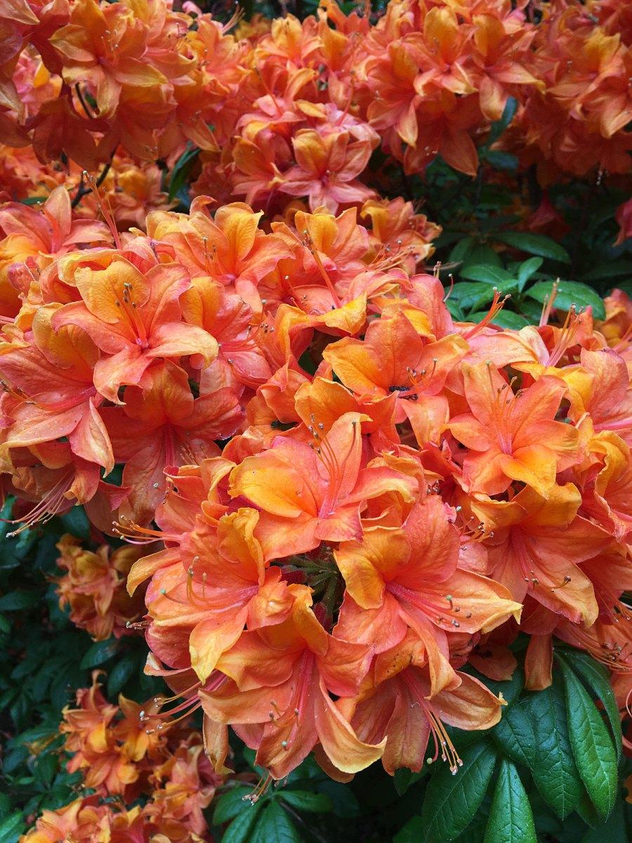 Orange azalea flowers