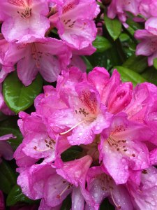 Pink rhododendron flower with raindrops