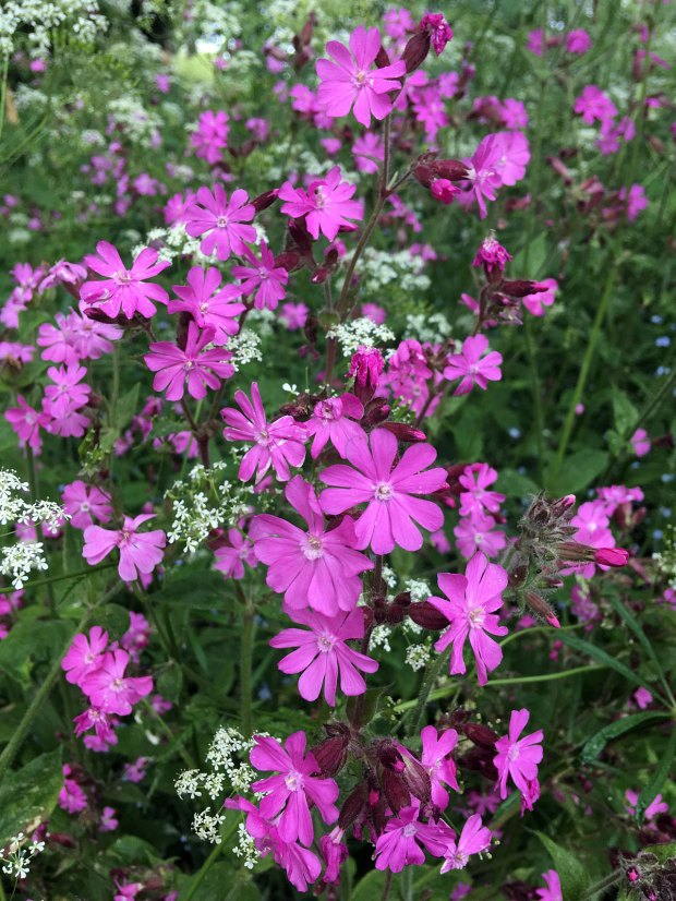 Wildflower patch: red campion and cow parsley