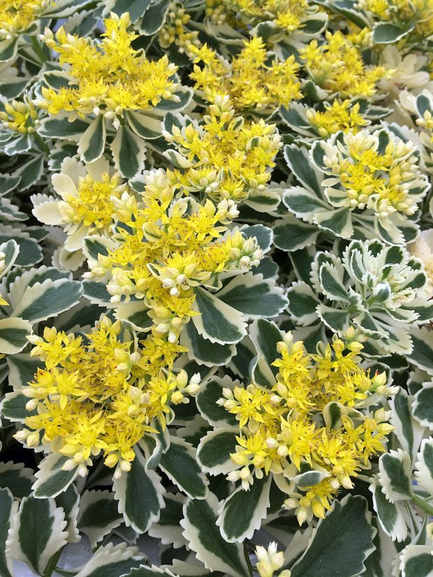 Variegated Sedum 'Atlantis' with yellow flowers