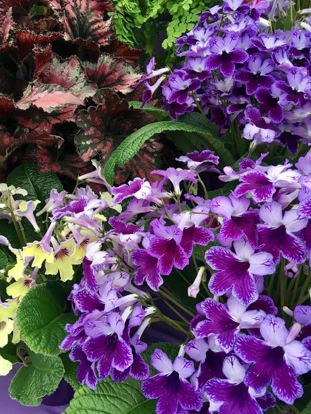 Streptocarpus 'Katie' in full flower