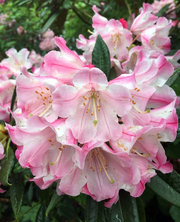White rhododendron flowers striped pink