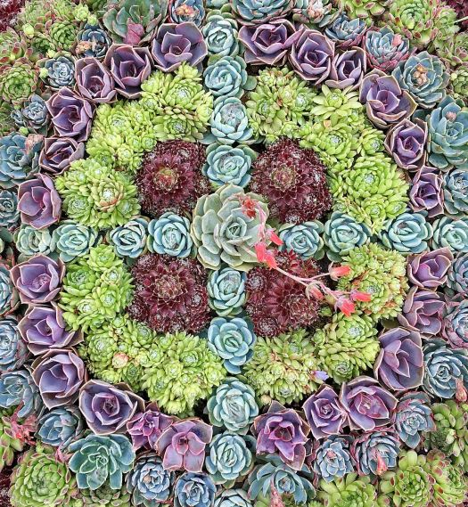 A mandala made from succulents of different colours