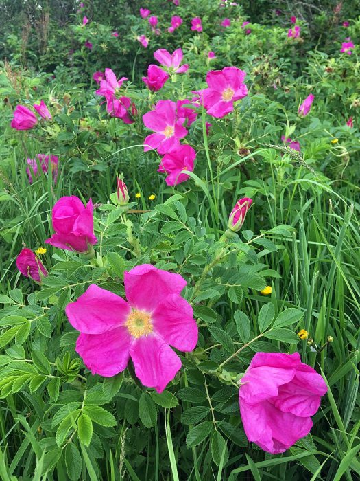 Wild rugosa with large pink, single flowers
