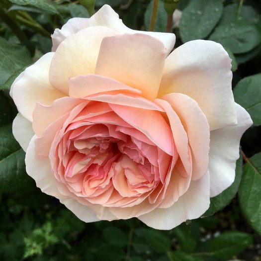 Peach double rose 'A Shropshire Lad'