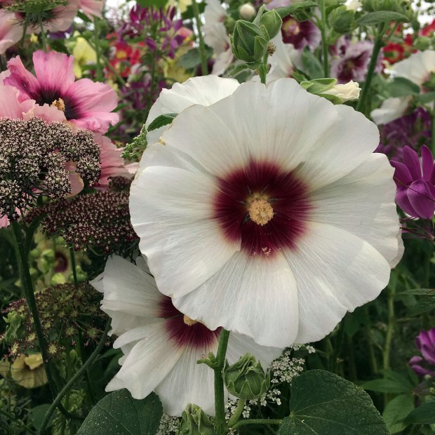 Alcea rosea 'Halo Blossom' with other flowers