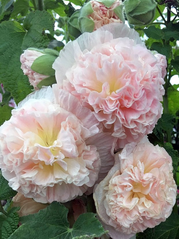 Double hollyhock: Alcea rosea 'Peaches n Dreams'