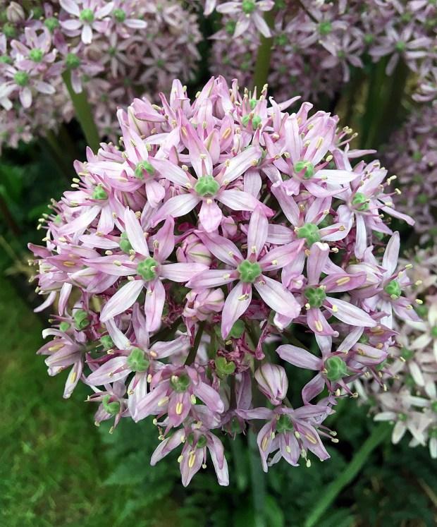 Allium 'Pink Jewel'