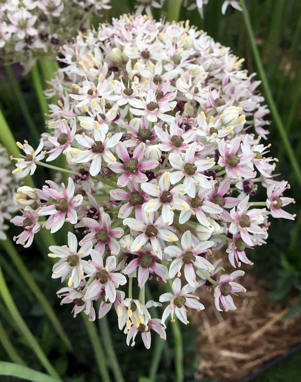 Allium 'Silver Spring' - white allium