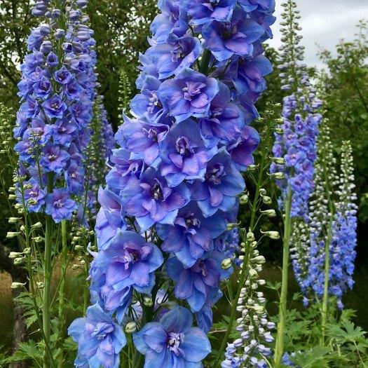 Tall blue delphiniums at RHS Garden Rosemoor