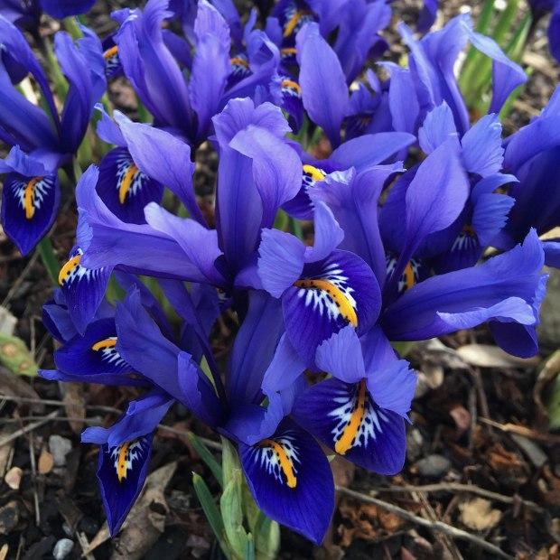 Blue iris reticulata
