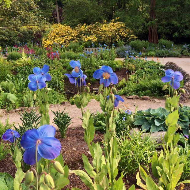 Blue poppies at RHS Harlow Carr Garden