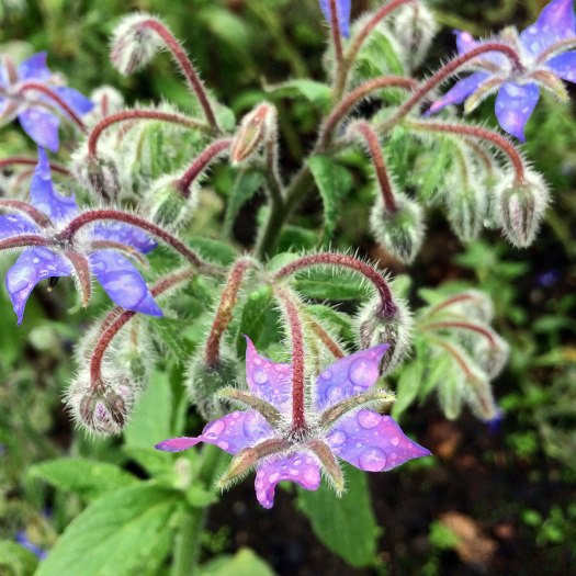 Borage flowers with water drops