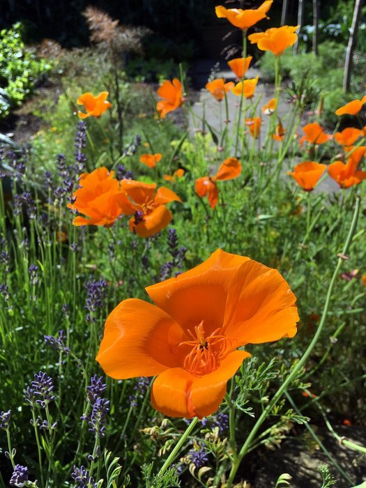 California poppies with lavender in a cutting garden