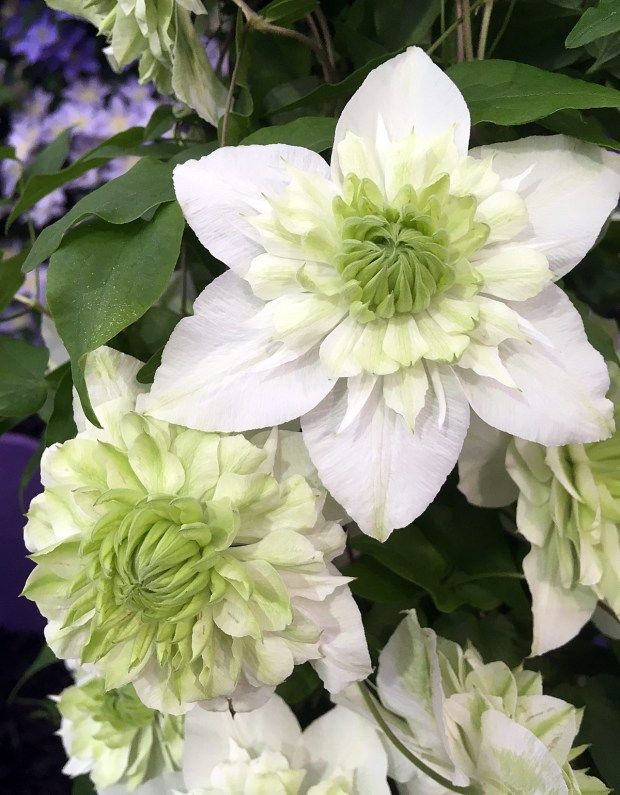 Clematis florida 'Alba Plena' - double white clematis with green centre