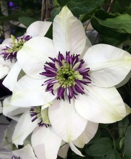 Clematis florida sieboldii - white clematis with purple centre