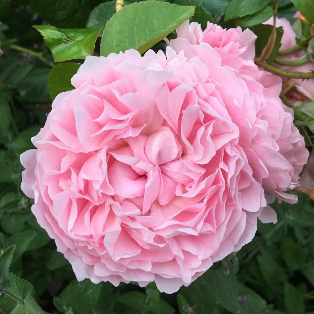 A double pink rose with a neat rosette shape