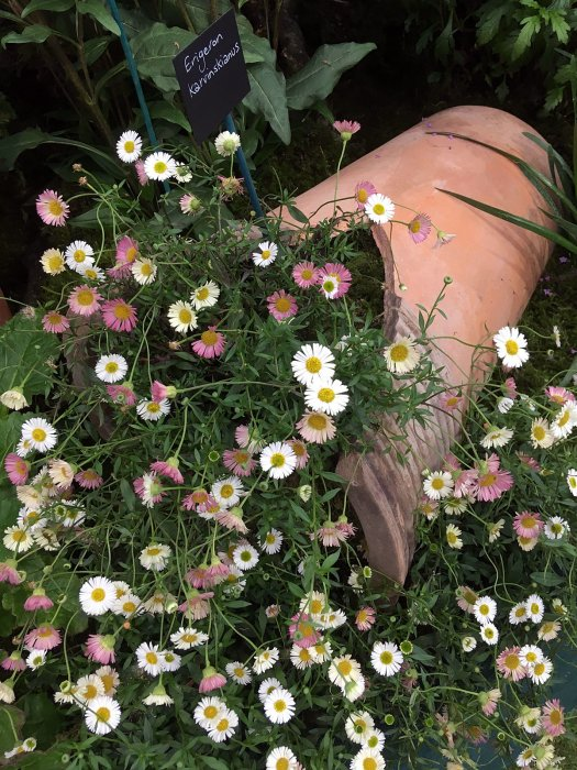 Erigeron karvinskianus spills out of a broken pot