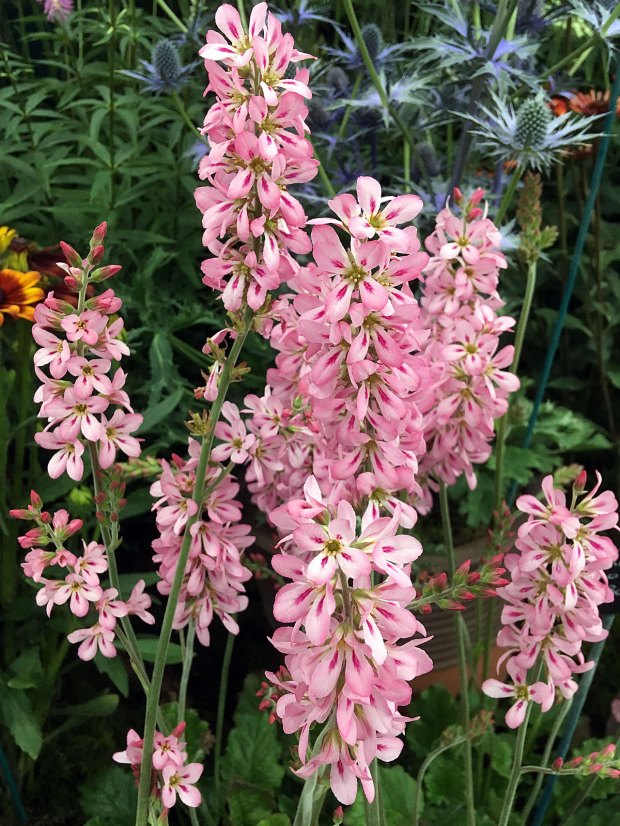 Francoa 'Pink Bouquet' with blue thistles