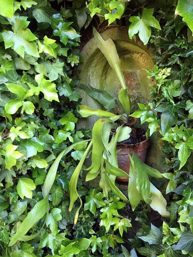 Ivy around an arched nook with a potted staghorn fern