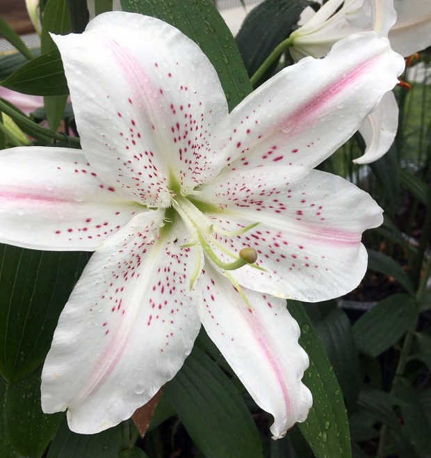 Lilium 'Lovely Day' - white lily with pink streaks and spots