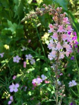 Linaria purpurea 'Canon Went' in dappled shade