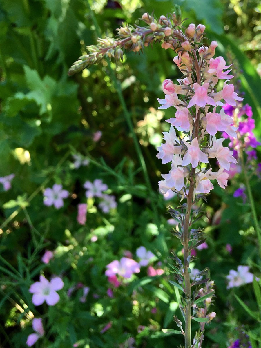 Linaria purpurea 'Canon Went' in dappled shade